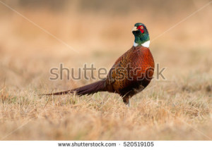stock-photo-birds-common-pheasant-phasianus-colchicus-male-cock-520519105
