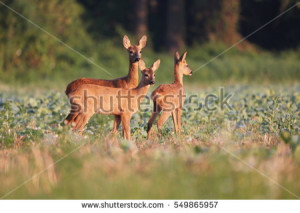 stock-photo-capreolus-capreolus-two-roe-deers-are-standing-on-the-summer-meadow-before-the-sun-in-the-grass-549865957